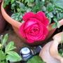 Patio Rose 2