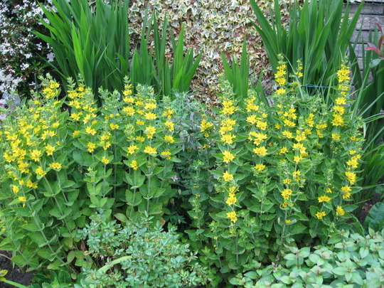 Lysimachia in long border..