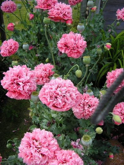 Self-sown poppies