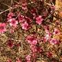 Leptospermum scoparium (New Zealand tea tree)