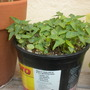Carica papaya 'Thai Dwarf' seedlings (Carica papaya 'Thai Dwarf' seedlings)