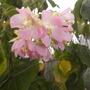 Dombeya wallichii - Tropical Hydrangea