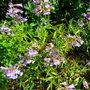 Penstemon 'Catherine de la Mare' (Penstemon heterophyllus 'Catherine de la Mare')
