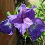 Iris sibirica 'Ever Again' (Iris sibirica 'Ever Again')