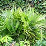 European Fan Palm (Chamaerops humilis (Dwarf Fan Palm))