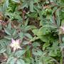 Rosa glauca starting to flower... (Rosa glauca (Shrub rose))