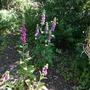 Foxgloves in the wild area.