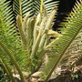 Cycad comes to life. (Dioon edule (Chestnut Dioon))