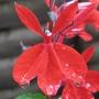 LOBELIA CARDINALIS (Lobelia cardinalis (Cardinal flower))