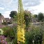 eremurus (cleopatra foxtail lily)
