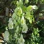 White Aconitum (Aconitum napellus (Monkshood))