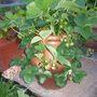 strawberry plants with 22 days to go