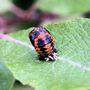 Ladybird Morphing