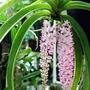 mocara orchids