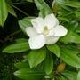 Magnolia grandiflora 'Exmouth' - 2015 (Magnolia grandiflora 'Exmouth')