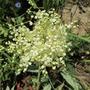 Meadowsweet-double flowers (Filipendula hexapetala flore plena)