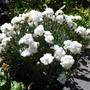 Dianthus 'Arctic Star' (Dianthus alpinus (Alpine Pink))