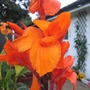 Canna Lily (golden)