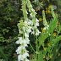 Galega  white flowers (Galega officinalis (Goat's rue) alba)