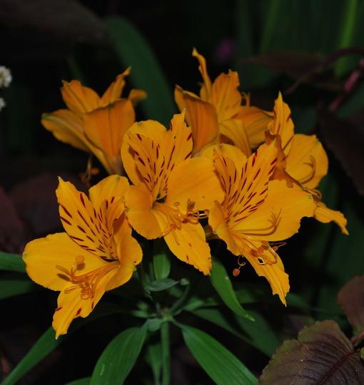 Yellow Alstroemeria.... (Alstroemeria aurea (Peruvian lily)Lutea..)
