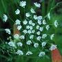 Orlaya grandiflora.....White lace flower... (Orlaya grandiflora (White Lace Flower))