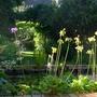 Primula florindae - 2015 (Primula florindae)
