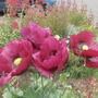 Plum annual poppy