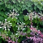 Schizophragma hydrangeoides 'Moonlight' - 2015 (Schizophragma hydrangeoides 'Moonlight')