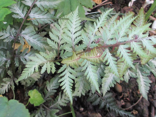 Anthyrium fronds (Athyrium niponicum pictum 'Red Beauty')