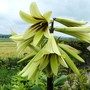 Cardiocrinum Close-up! (Cardiocrinum giganteum (Giant lily))