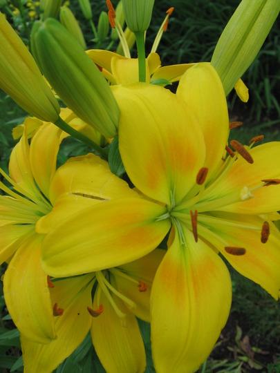 yellow lily (lilium)