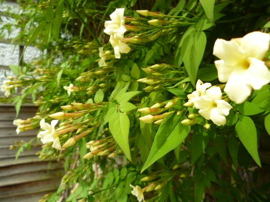 Jasmine 'clotted cream' close up