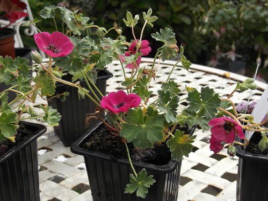 NEW LITTLE GERANIUM (geranium cenerum Melody)