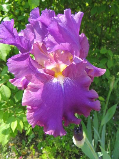 Iris Cranberry Ice (Iris germanica (Orris))