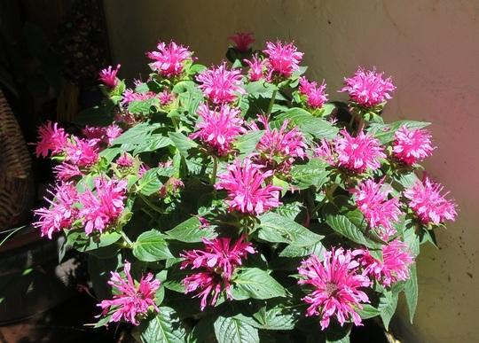 Monarda didyma 'Pink Lace'