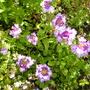 Verbena bi-coloured, purple and white