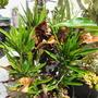 Croton mammy.