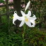 Lilium candidum - 2015 (Lilium candidum)