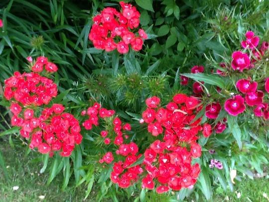 Dianthus barbatus (Dianthus barbatus (Sweet William))