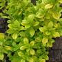 Thymus 'Bertram Anderson' (Thymus pulegioides (Lemon-scented thyme))
