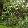 """Exochorda x macrantha """"The Bride"""" (Exochorda x macrantha (Pearl bush))"""