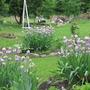 Irises... Obelisk with wild Clematis