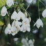 Halesia_diptera_flowers