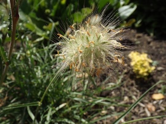 Grass flower head close up