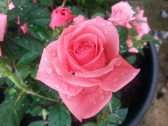New patio Rose