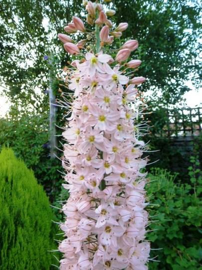 Eremurus Ruiter-Hybrids  (Eremurus robustus (Foxtail lily))