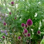 Allium_sphaerocephalon_2015