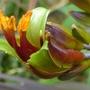 Phormium flower