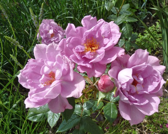 Rose 'Stardust' A Scented Patio Rose