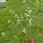 Cotoneaster frigidus 'Cornubia' in flower. (Cotoneaster frigidus (Tree Cotoneaster))